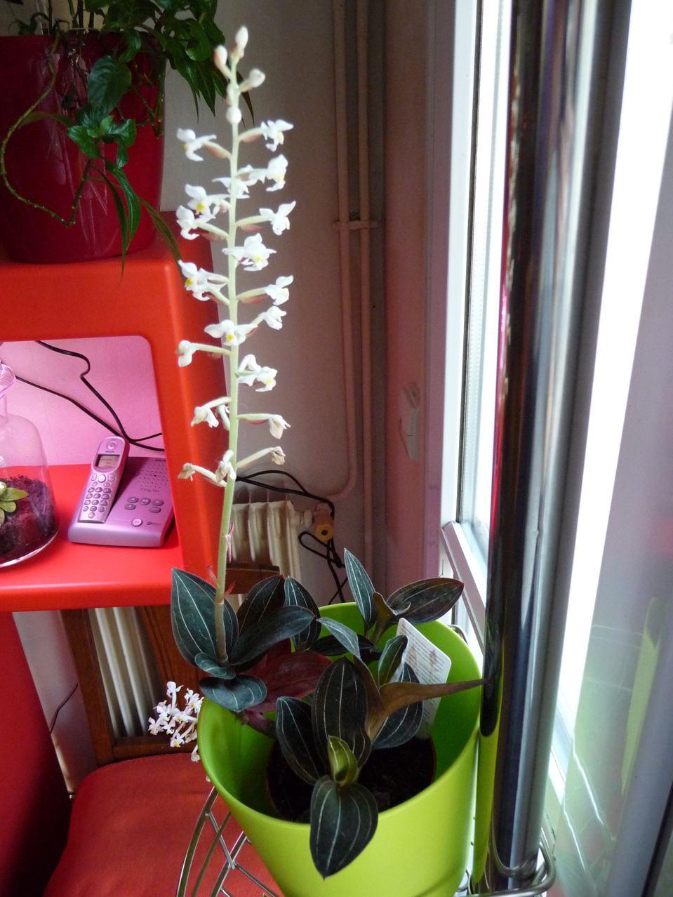Floraison hivernale d'une orchidée bijou