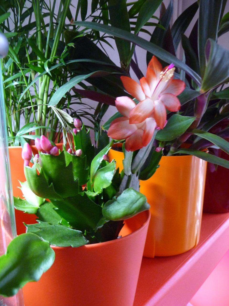 Schlumbergera hybride à fleurs ivoire et orange