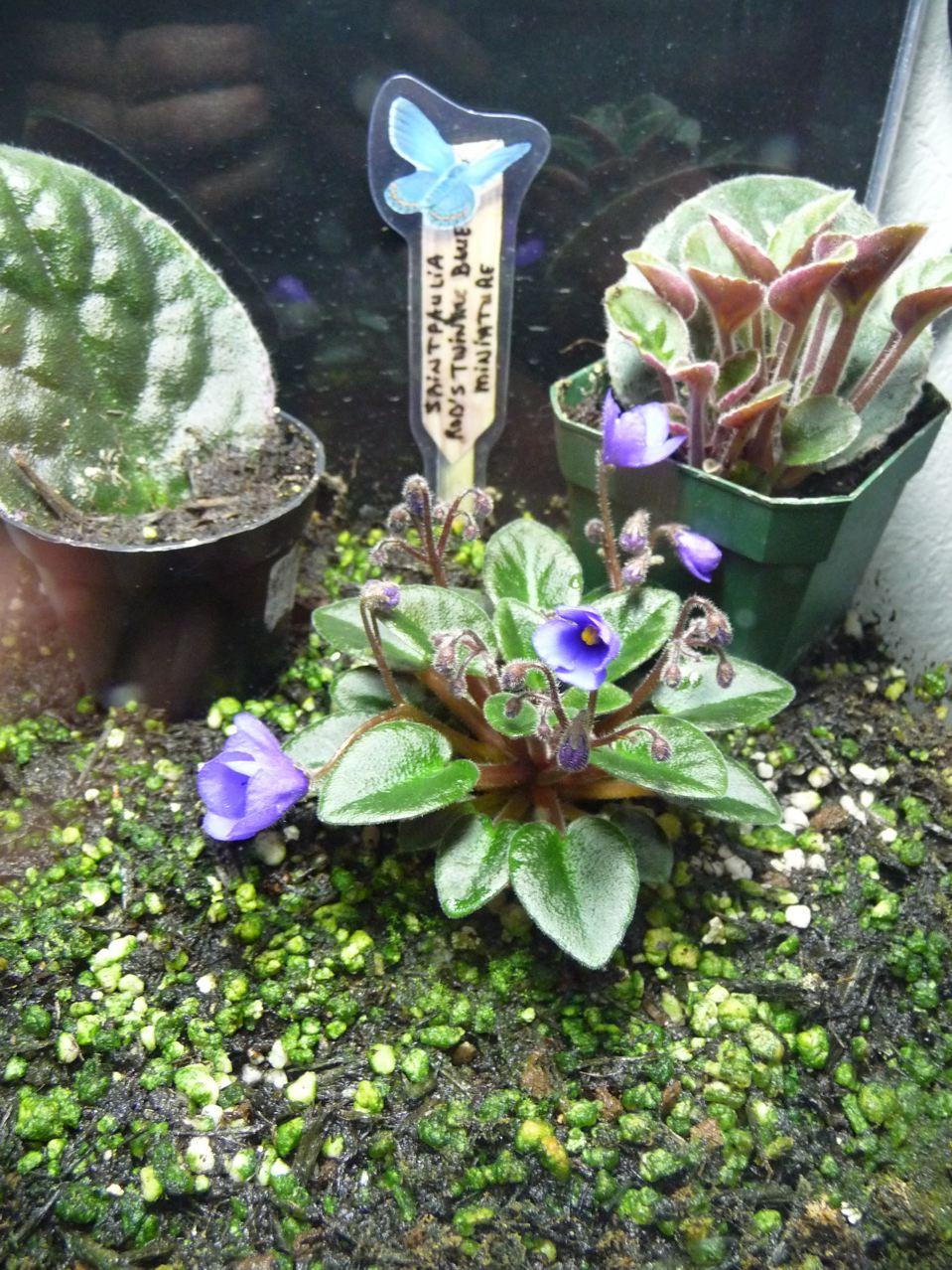 Violette du Cap miniature