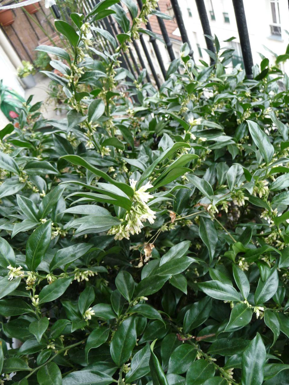 Floraison hivernale parfumée