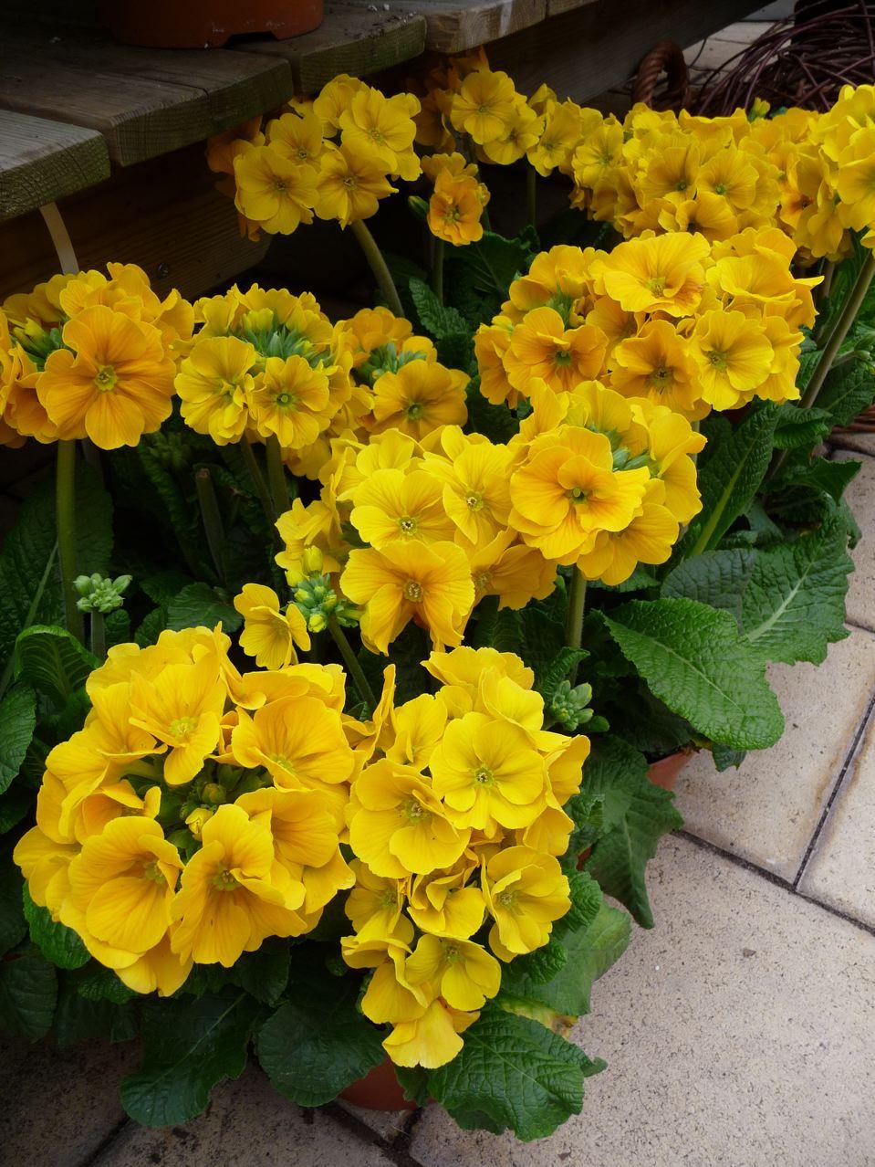 Fleur vivace printanière