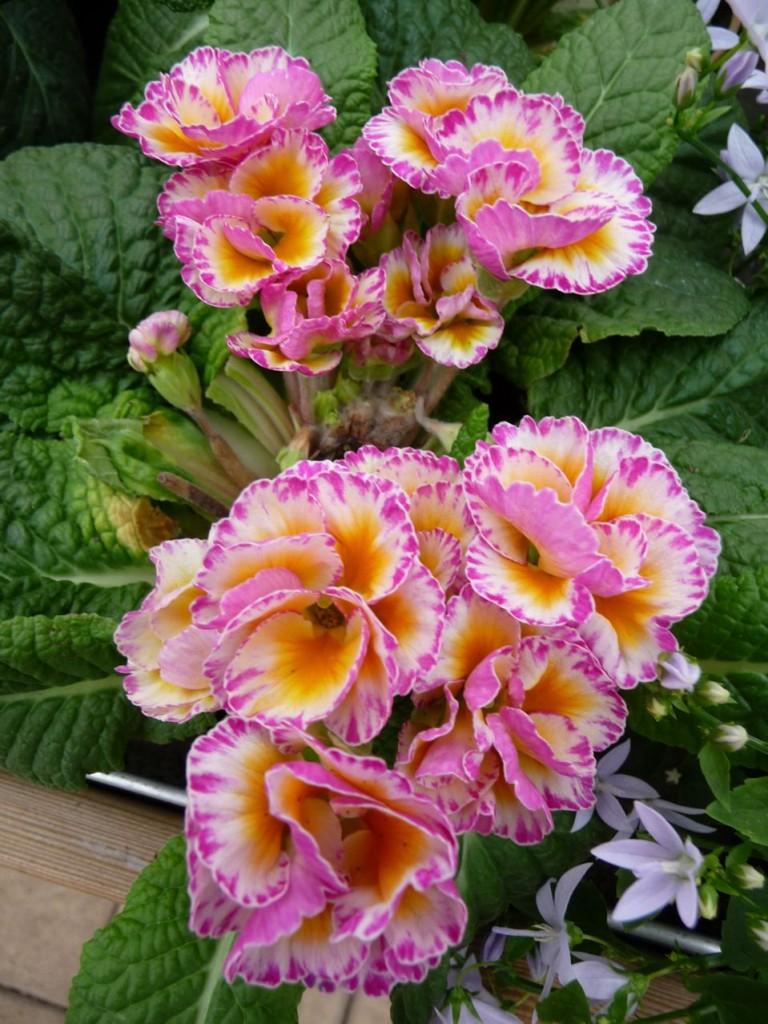 Fleur printanière forcée
