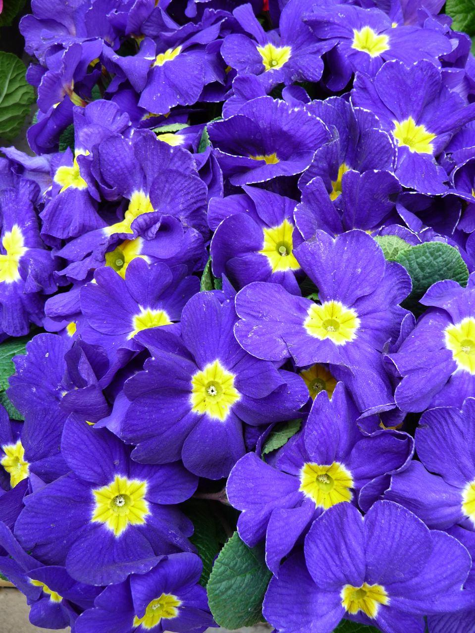 Fleurs vivaces printanières