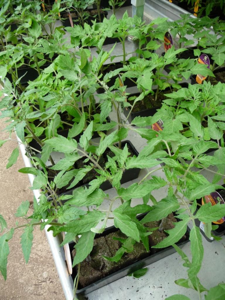 Jeunes plants de légume frileux en jardinerie
