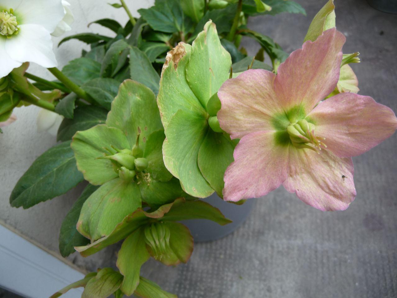 Rose de Noël en fin de floraison