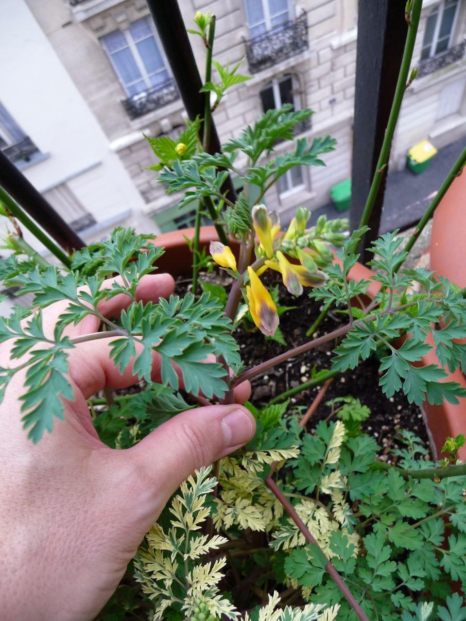 Plante vivace : Corydalis 'Maya'