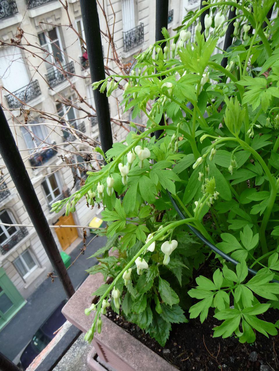Plante vivace : Dicentra spectabilis 'Alba'
