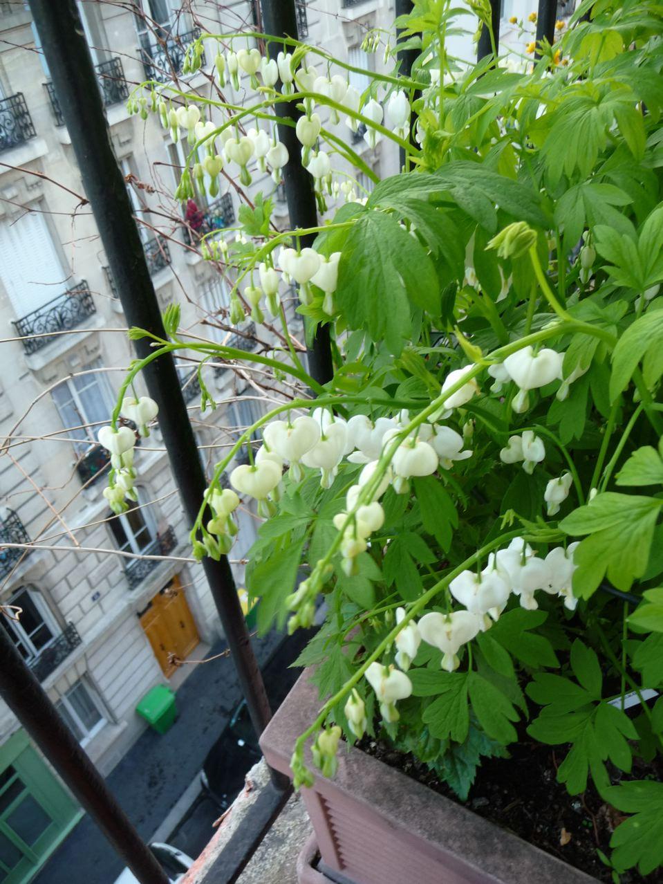 Premières floraisons sur mon balcon
