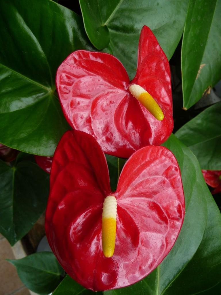 Plante fleurie d'intérieur
