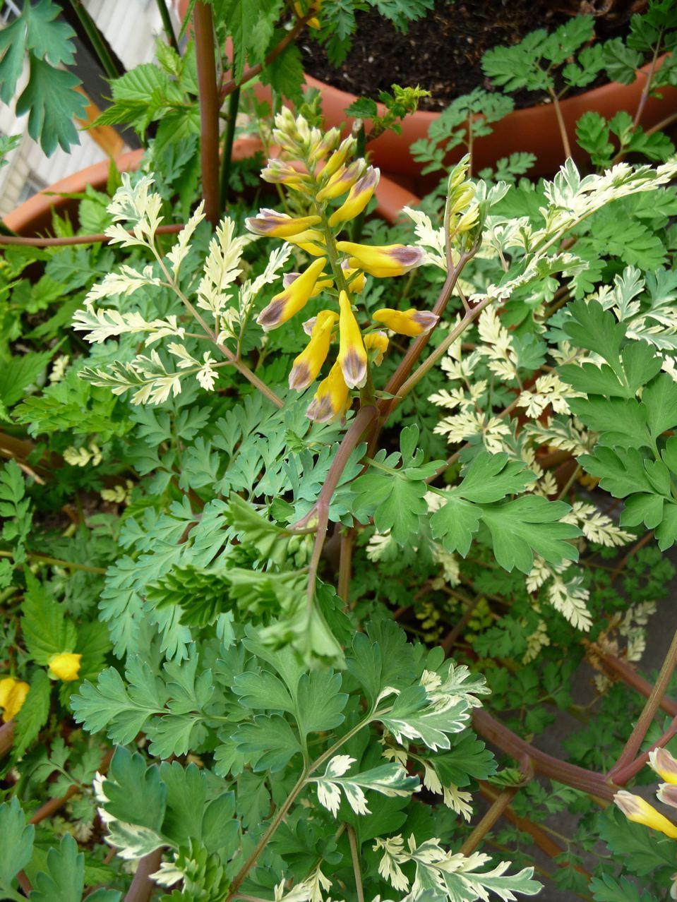 Plante vivace à feuillage panaché