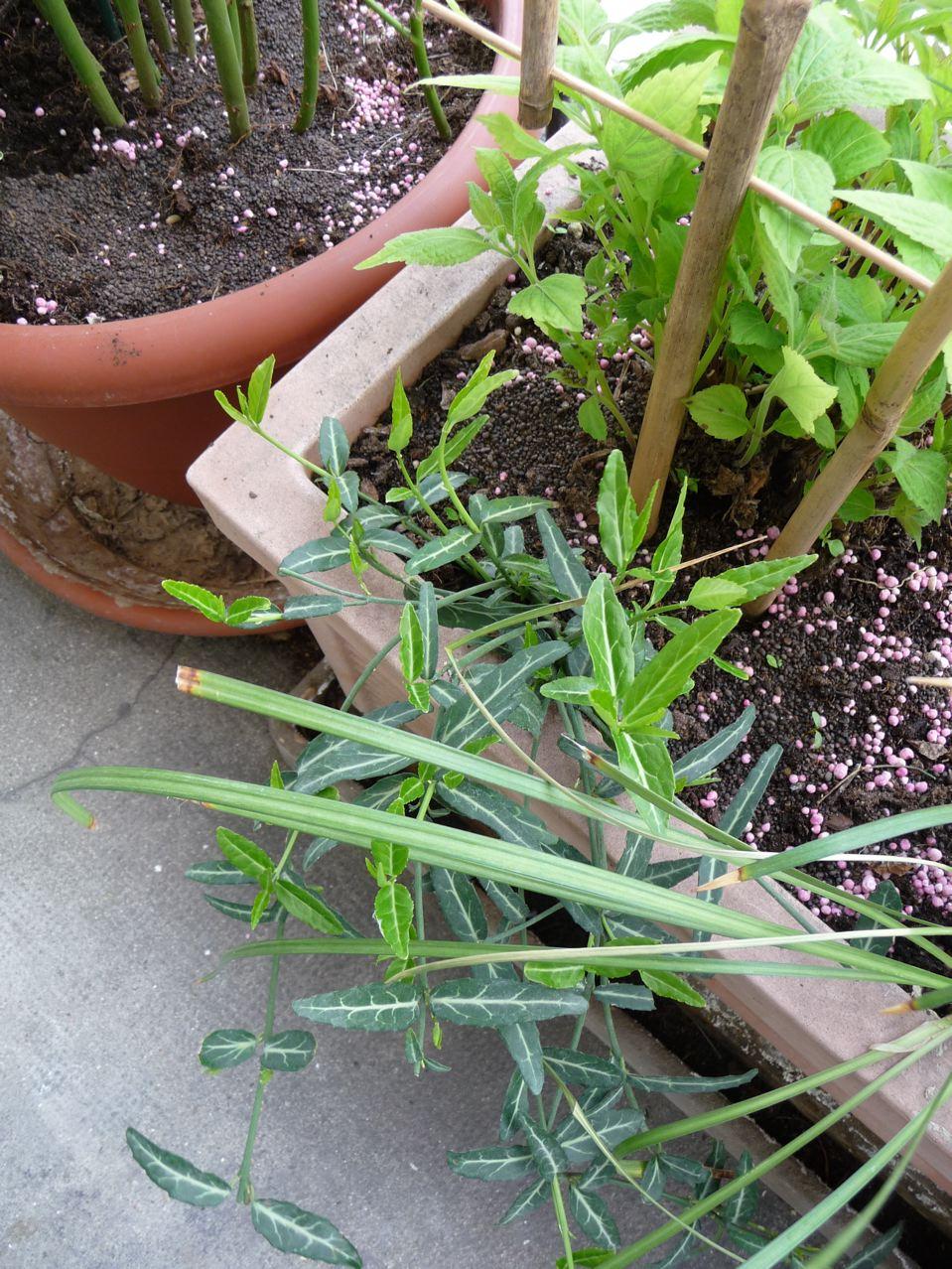 Arbuste à feuillage persistant panaché