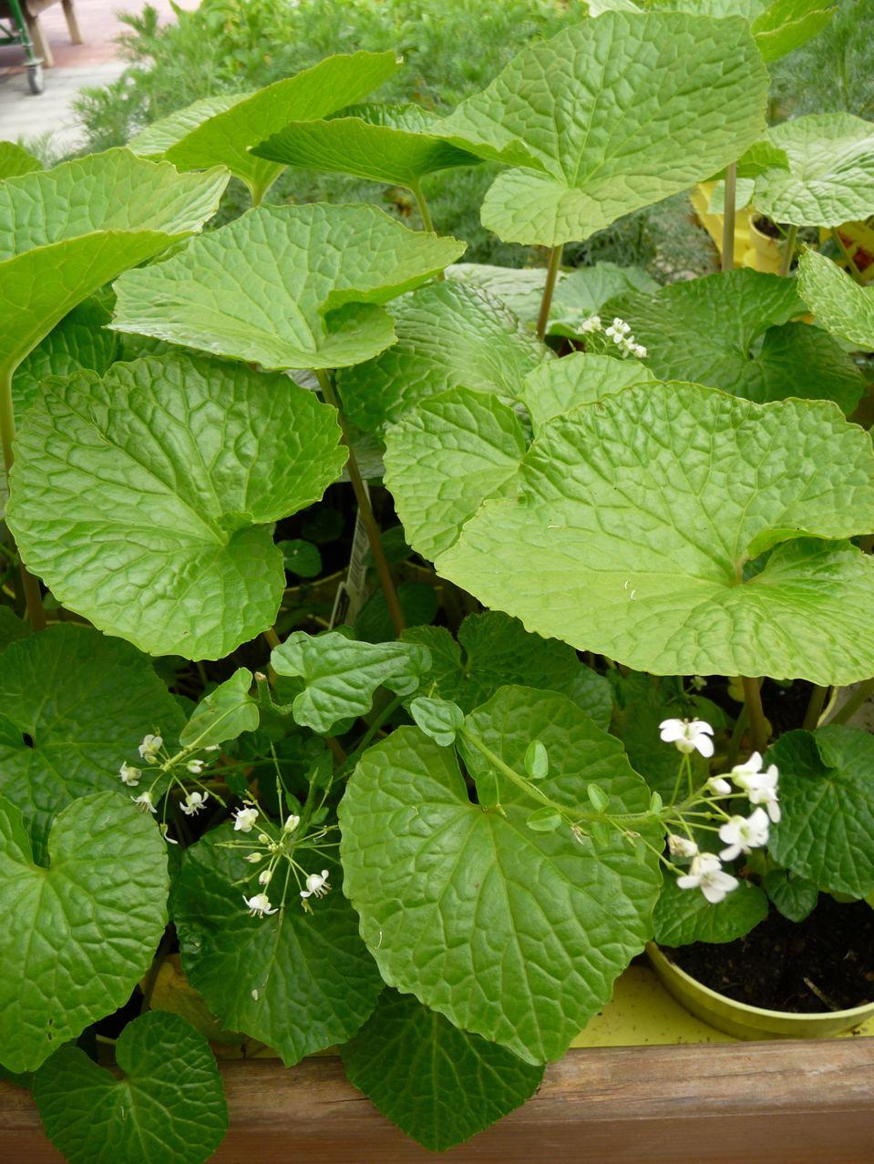 Plante aromatique