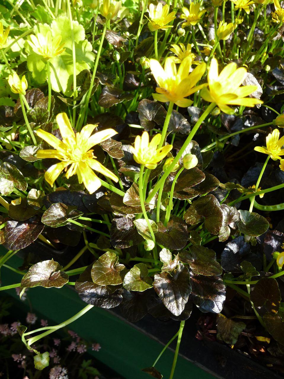 Plante vivace couvre-sol à floraison hivernale et printanière