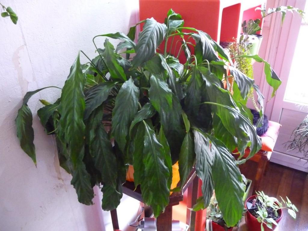 Faire refleurir un spatiphyllum en l'assoiffant