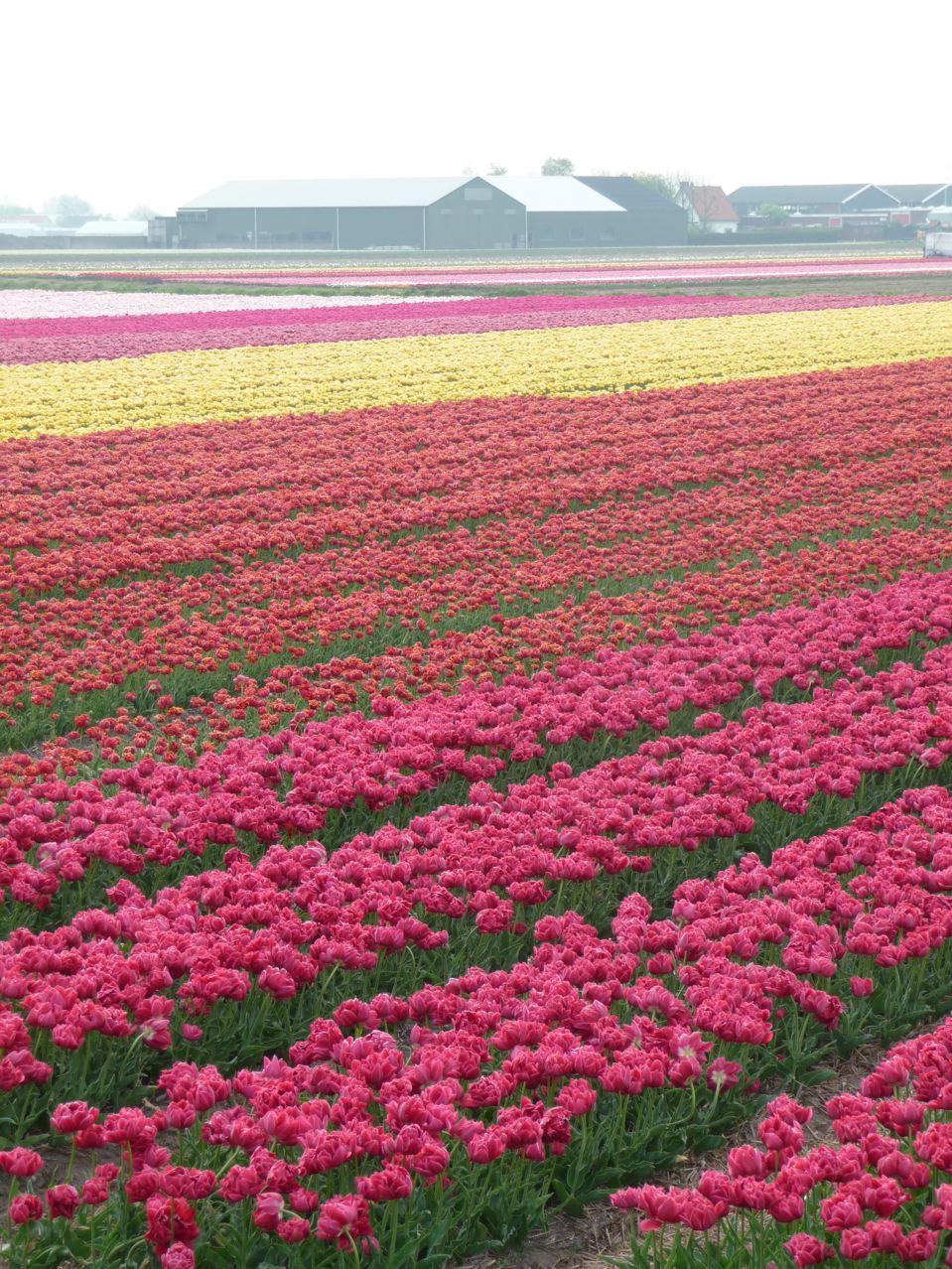 Bulbes à floraison printanière aux Pays-Bas