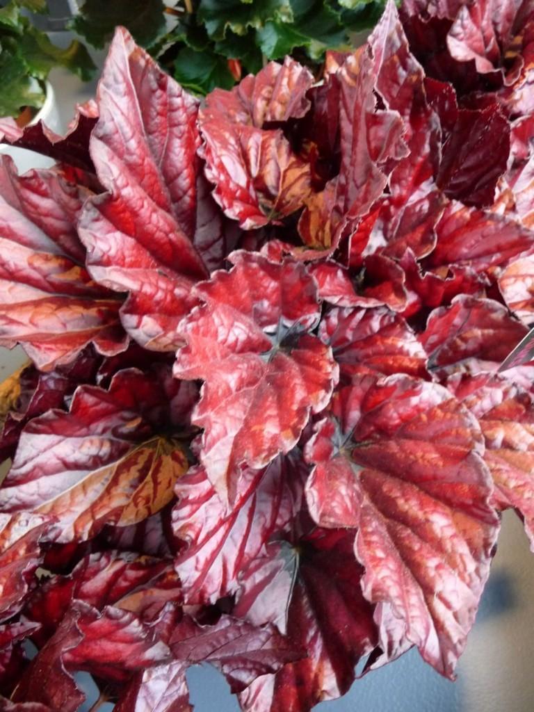 Bégonia hybride à feuillage décoratif