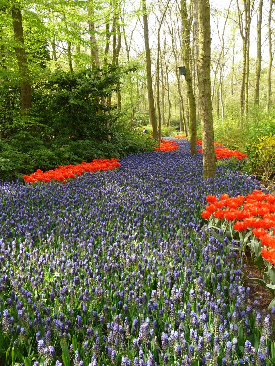Bulbes à floraison printanière à Keukenhof en Hollande
