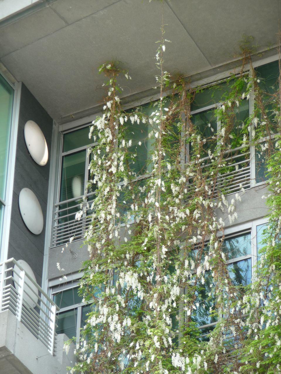 Plante grimpante en ville
