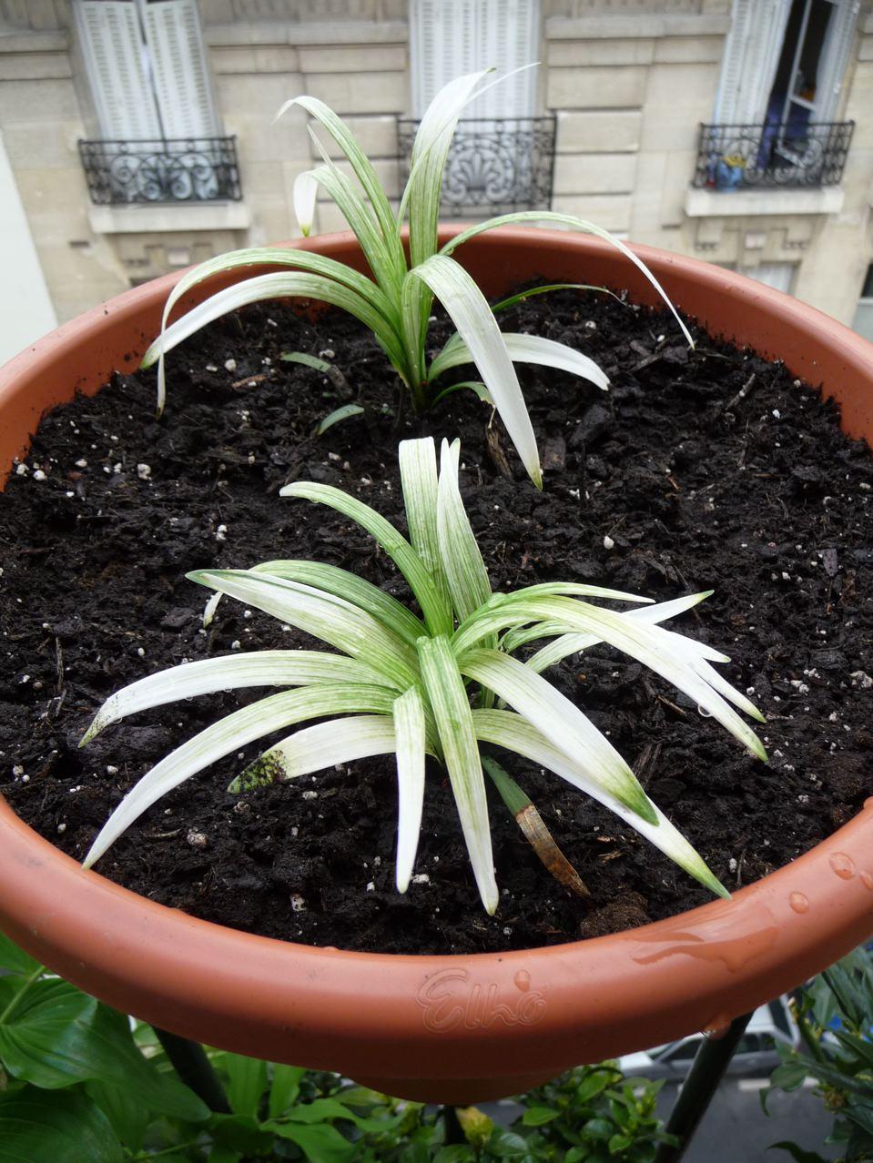 Plantes vivaces à feuillage panaché