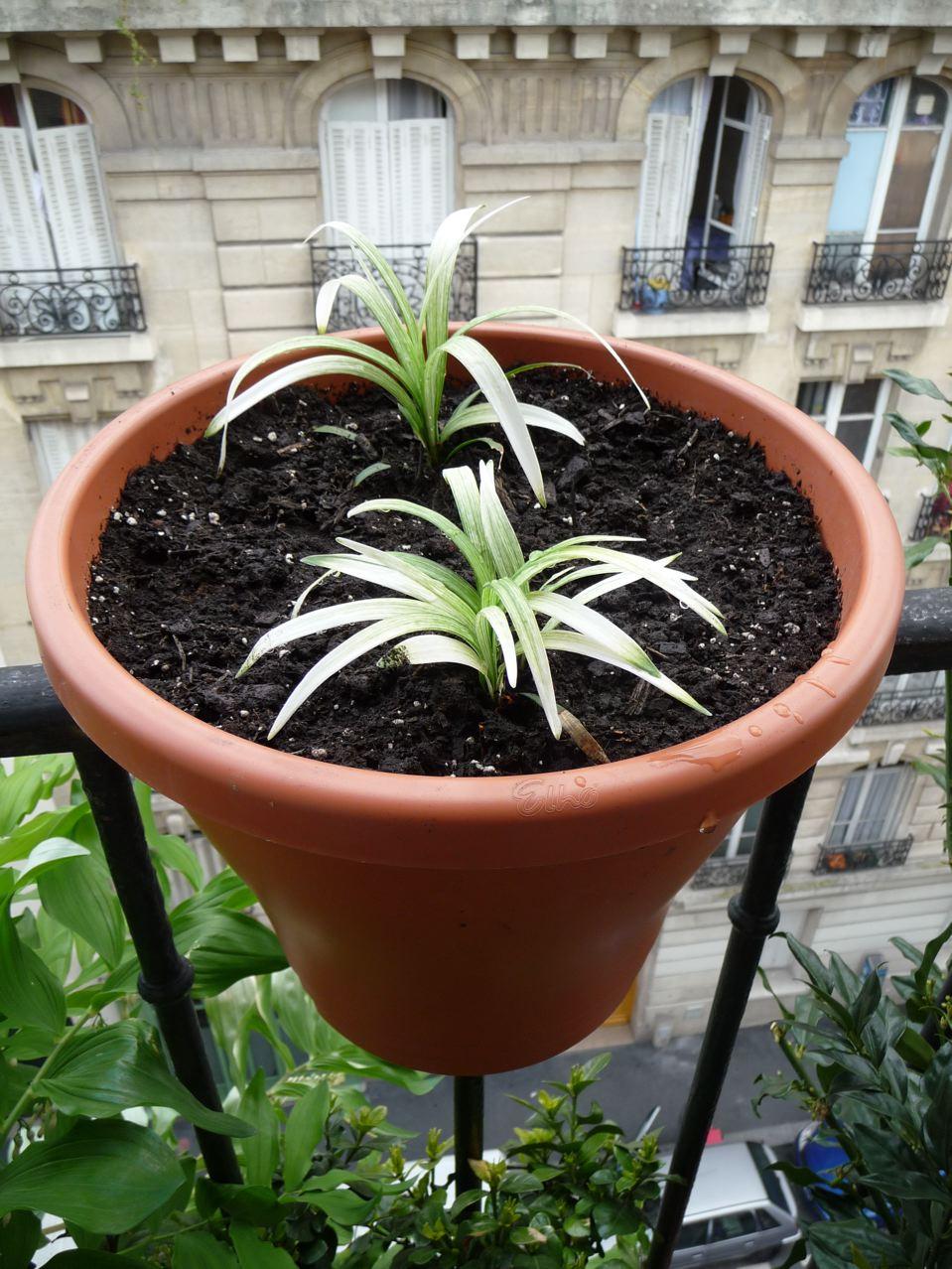 Potée de plantes vivaces à feuillage panaché