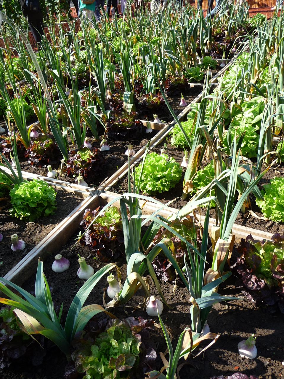 Plantes potagères