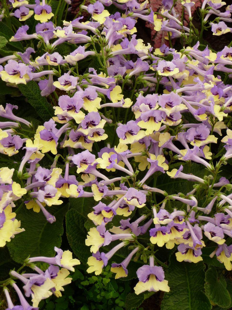 Plante d'intérieur, Gesnériacées