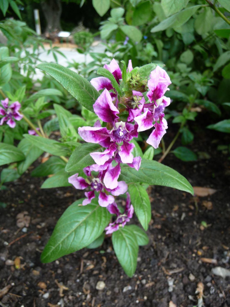 Fleur annuelle à floraison estivale