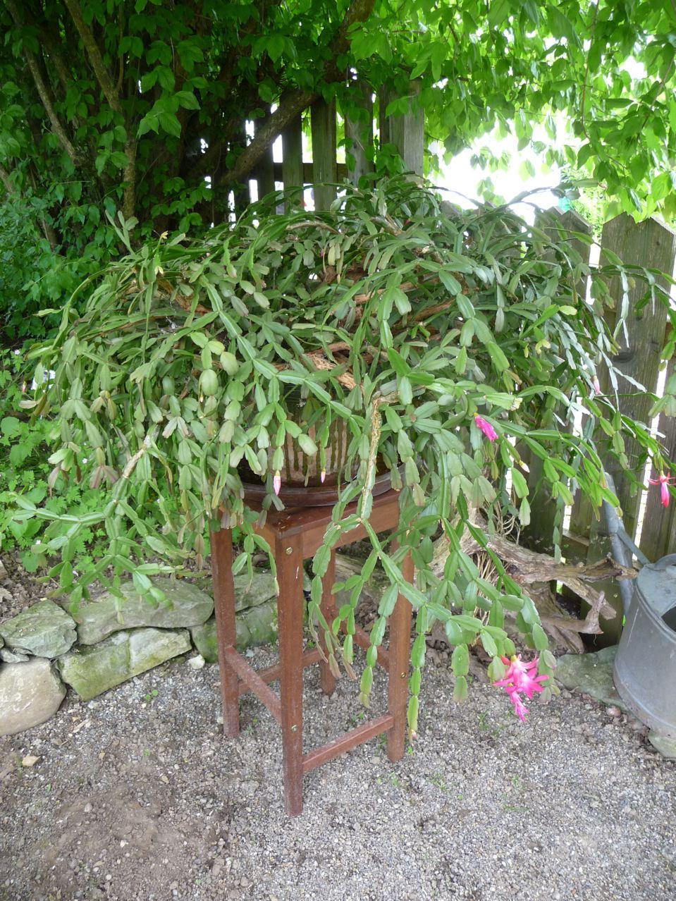 Plante d'intérieur sortie dans le jardin