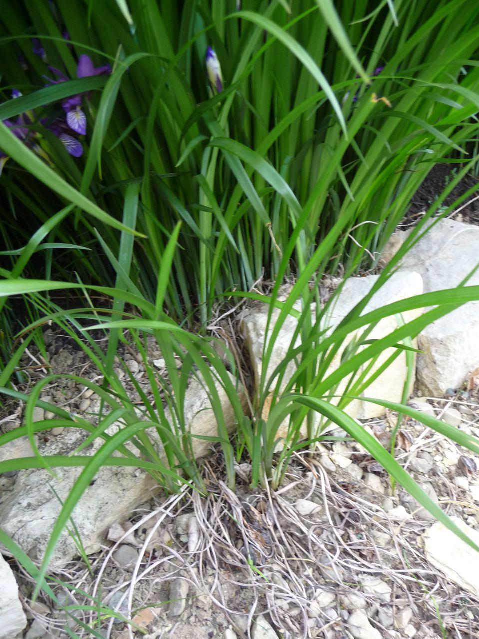 Plante vivace couvre-sol