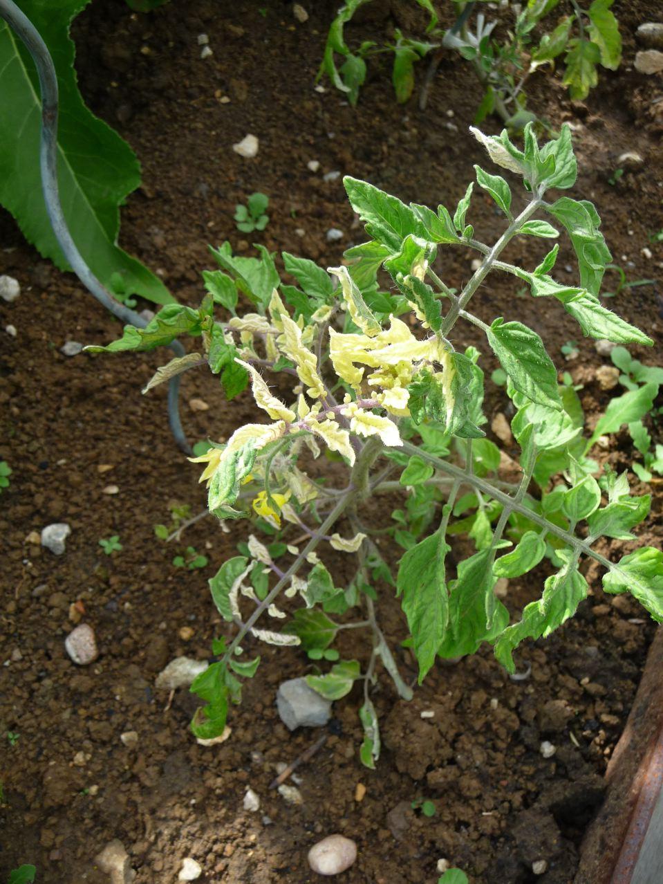 Légume décoratif
