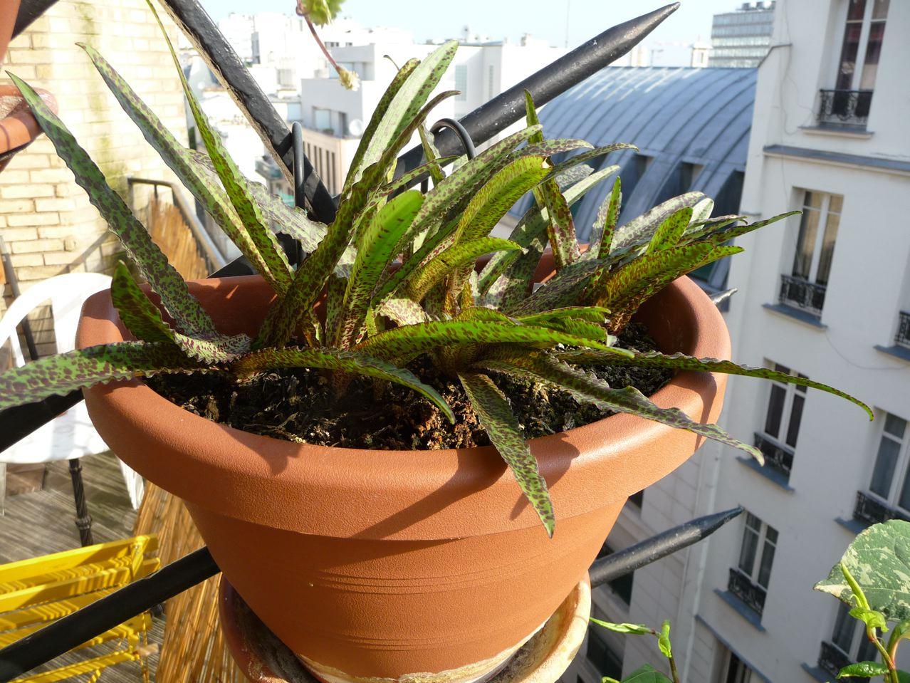 Plante bulbeuse sur mon balcon