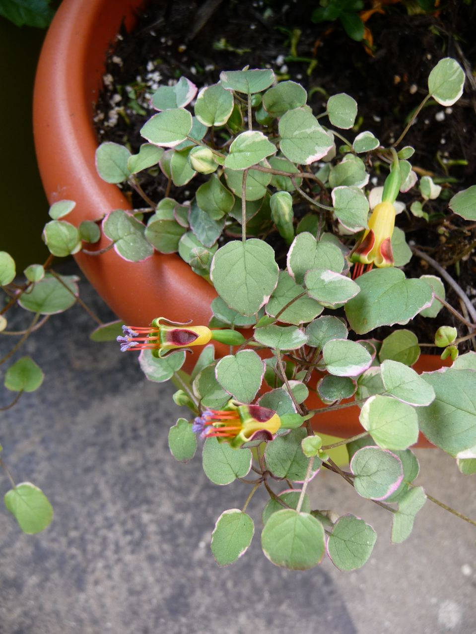 Plante tapissante et retombante à feuillage panaché