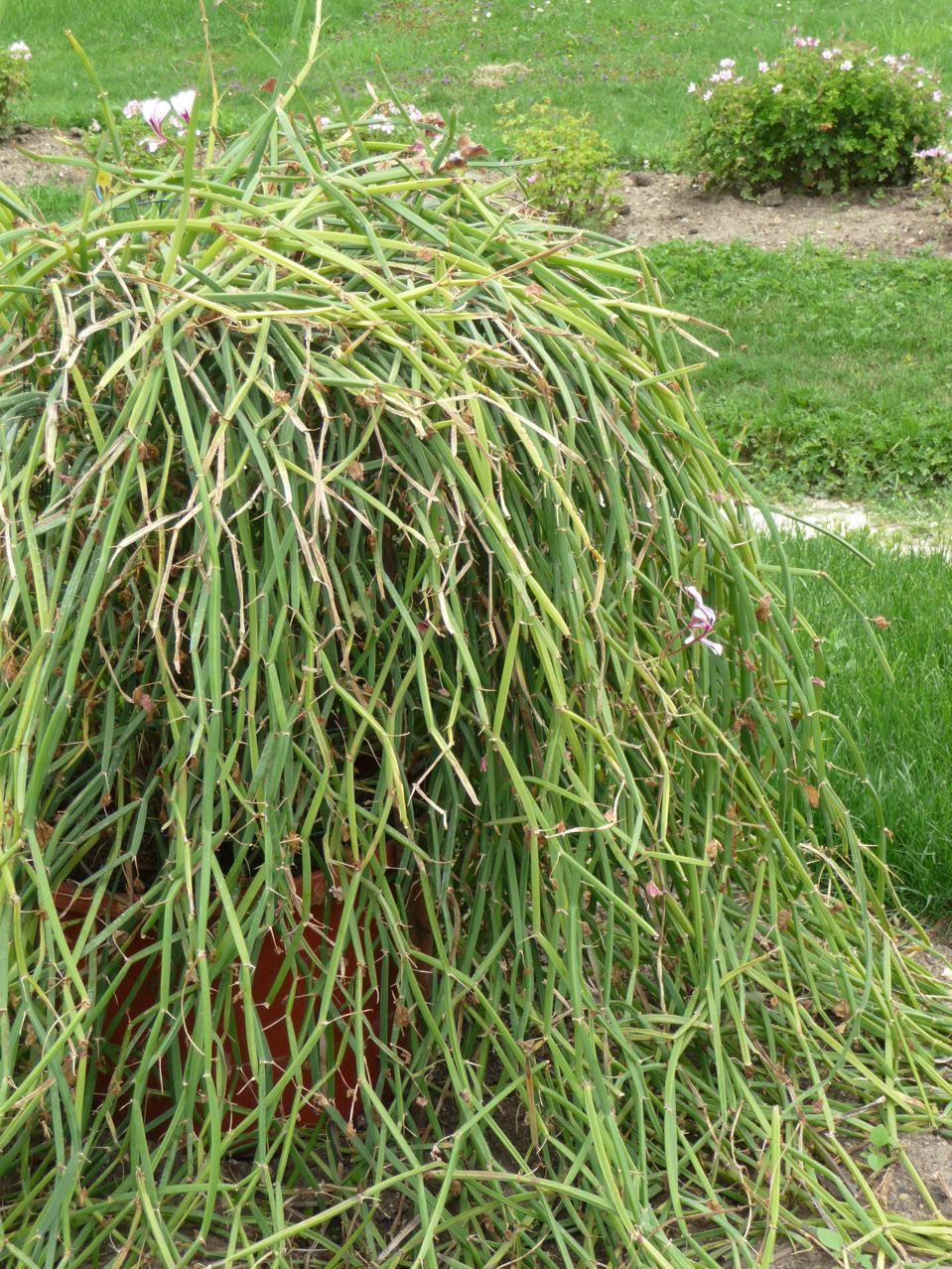 Géranium succulent