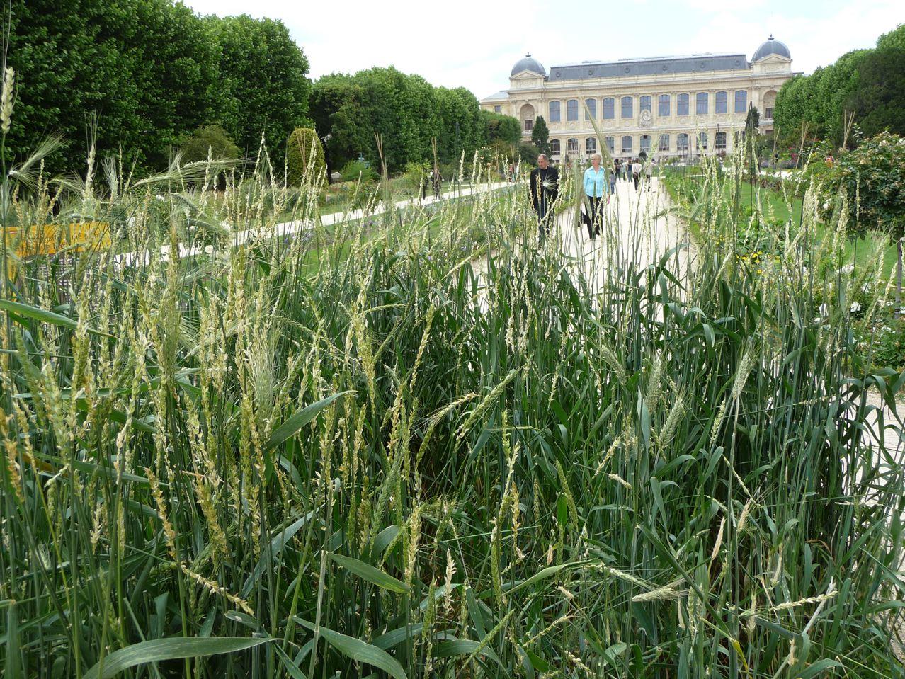 La diversité des céréales exposée au Jardin des Plantes de Paris