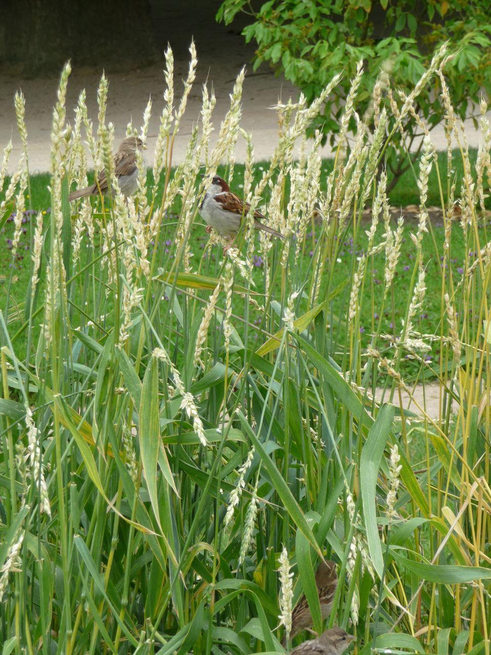 Collection de blés et autres céréales au Jardin des Plantes de Paris