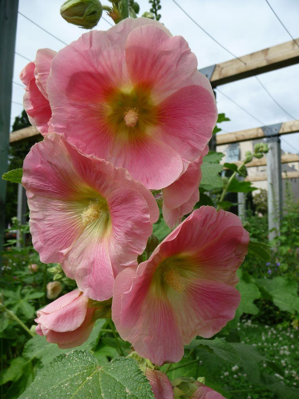 Fleur vivace à grand développement