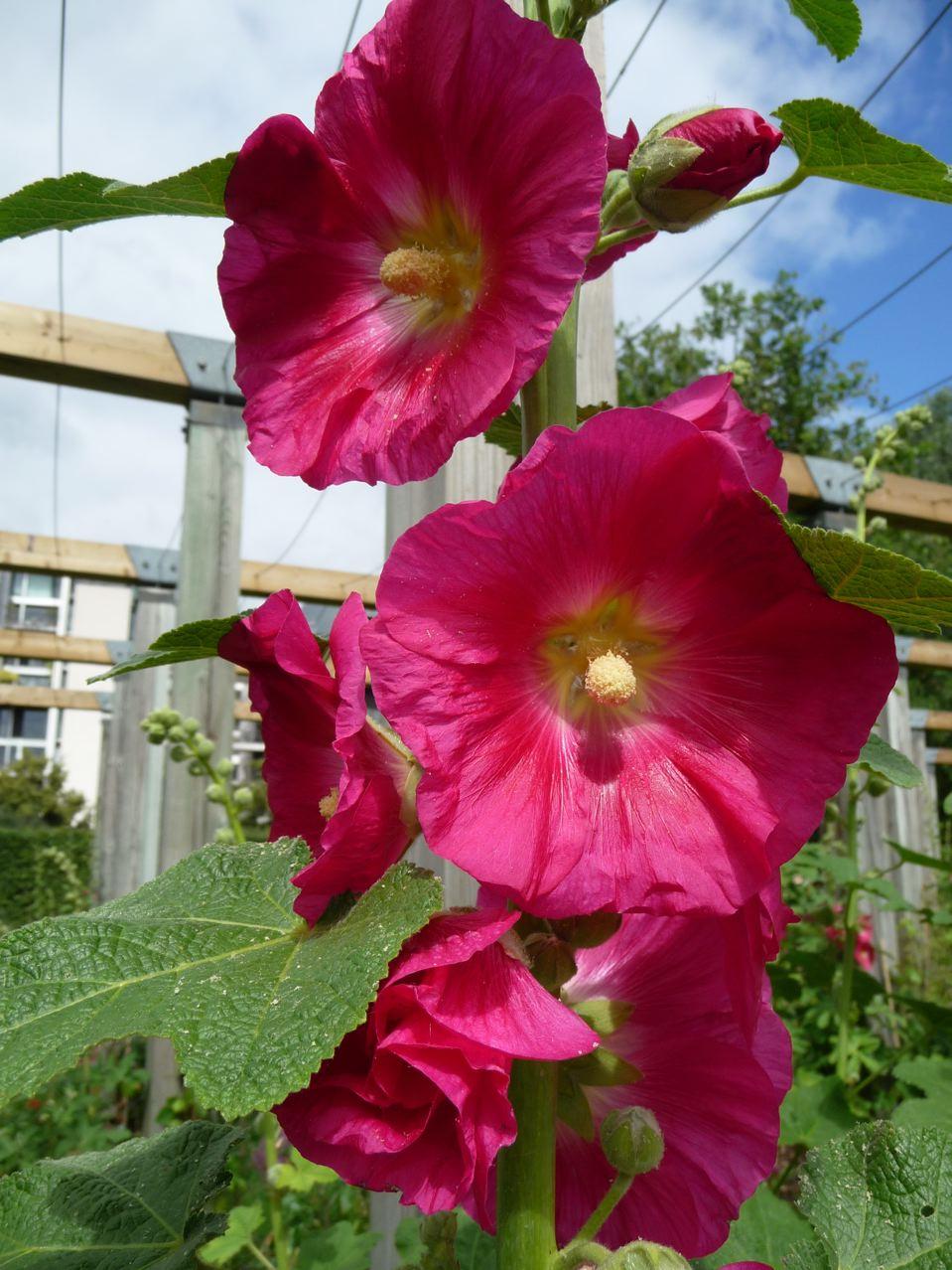 Plante vivace à grand développement