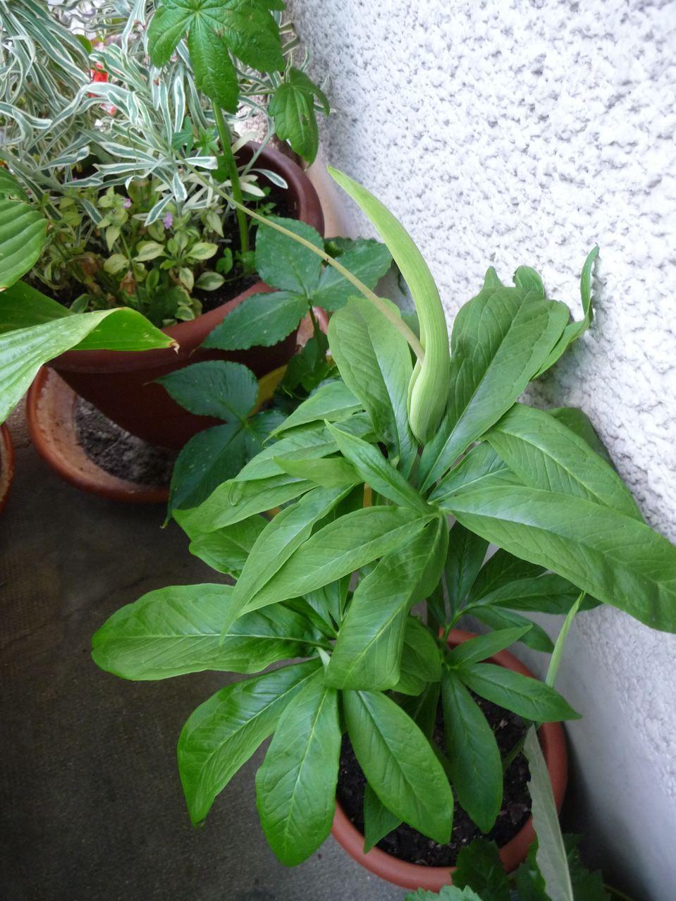 Plante bulbeuse curieuse de la famille des Aracées