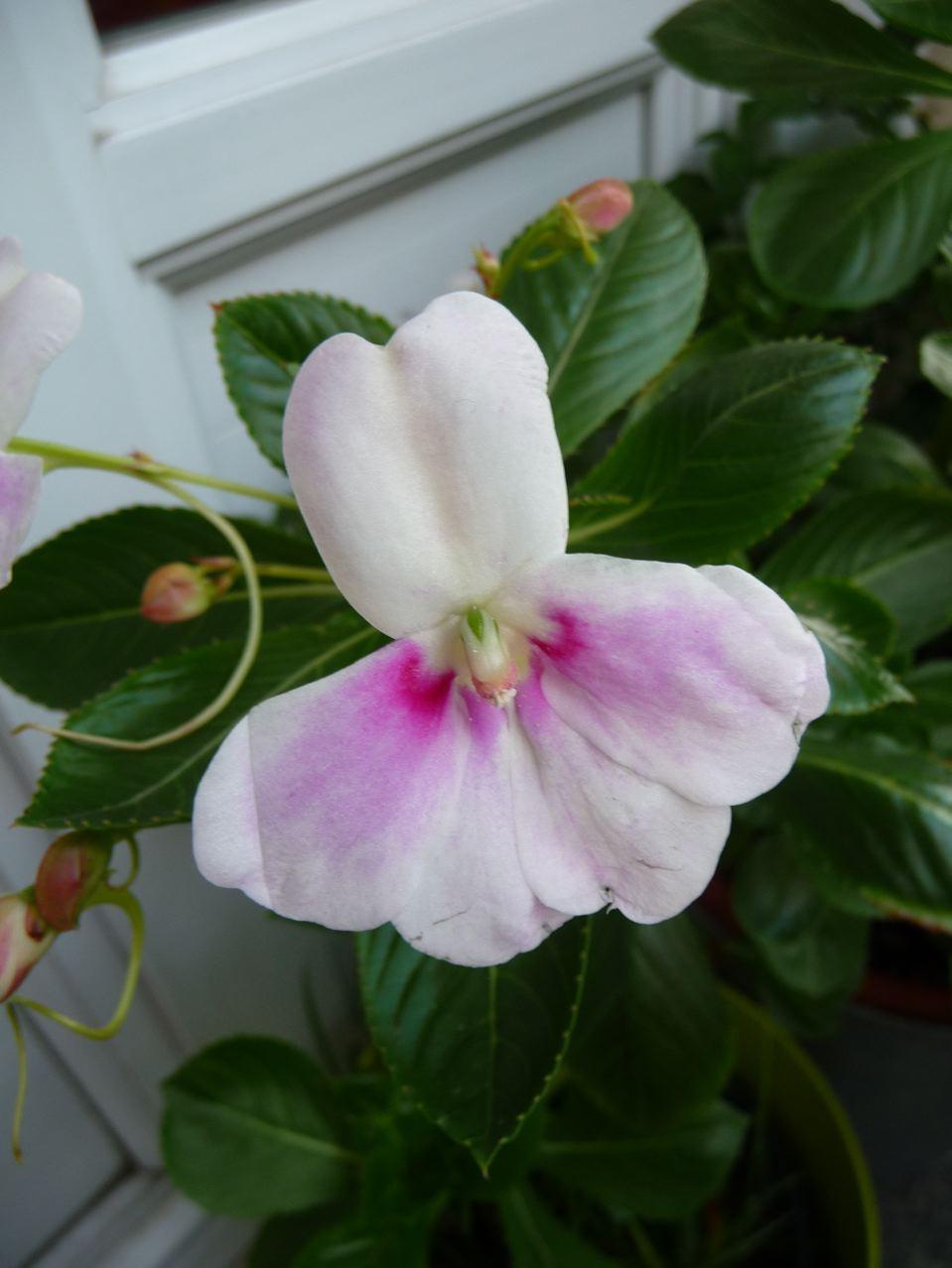 Les effets du froid sur les fleurs de l'impatiens