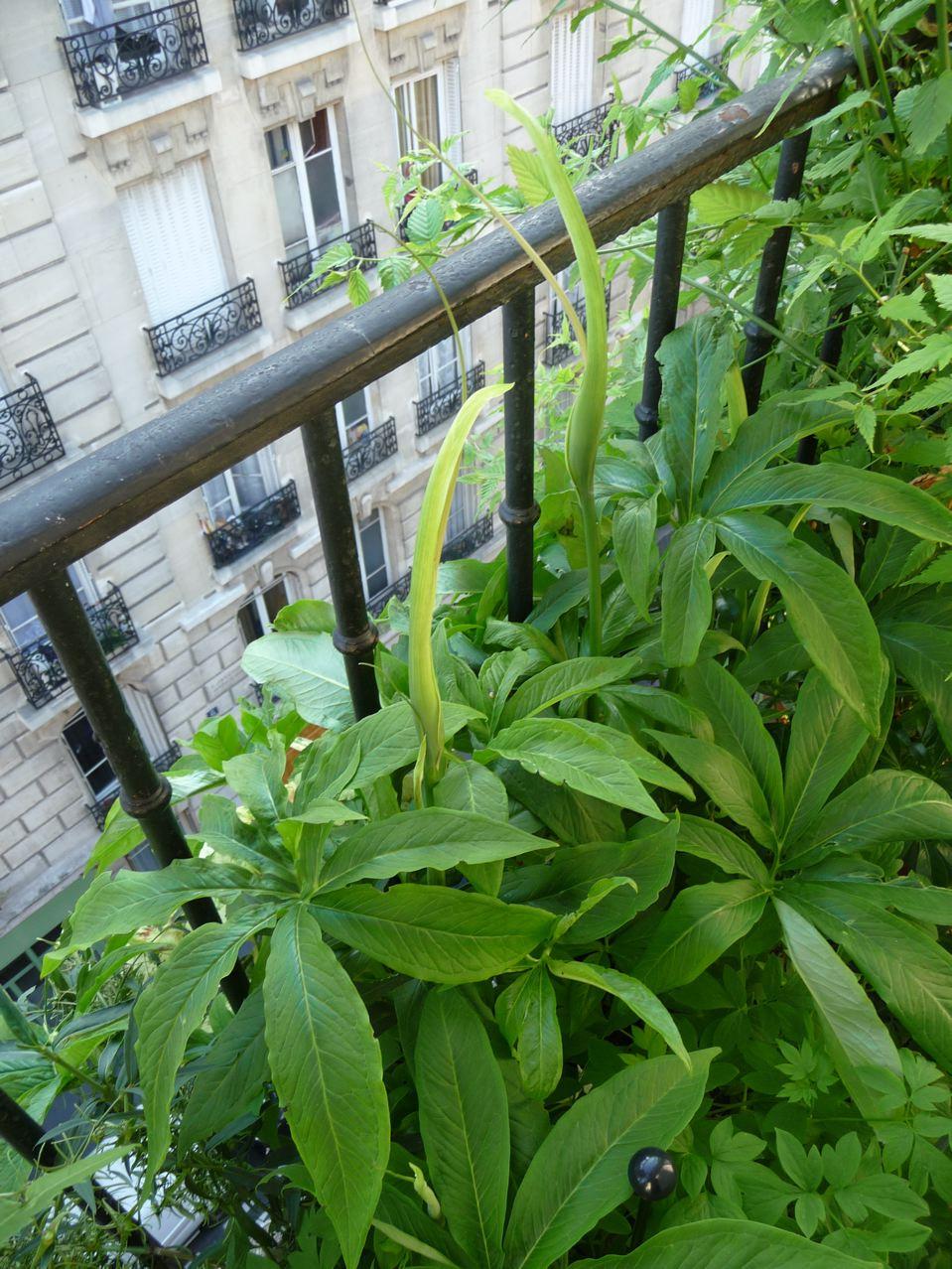 Plante bulbeuse de la famille des Aracées