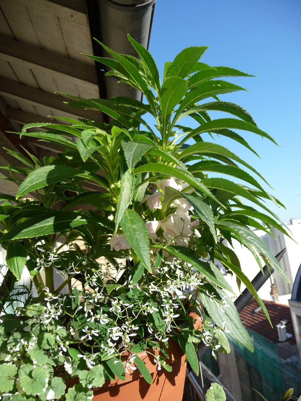 Fleurs annuelles sur mon balcon