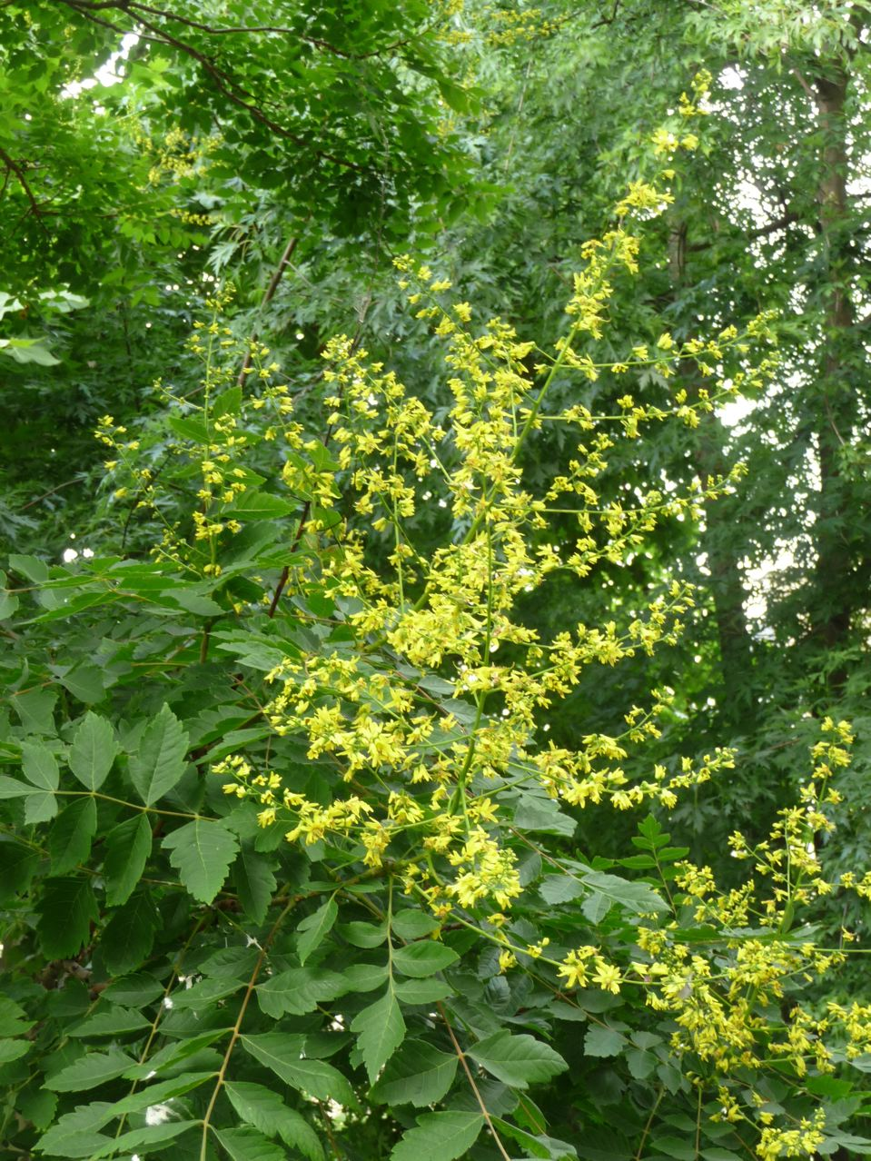 Arbre à floraison estivale