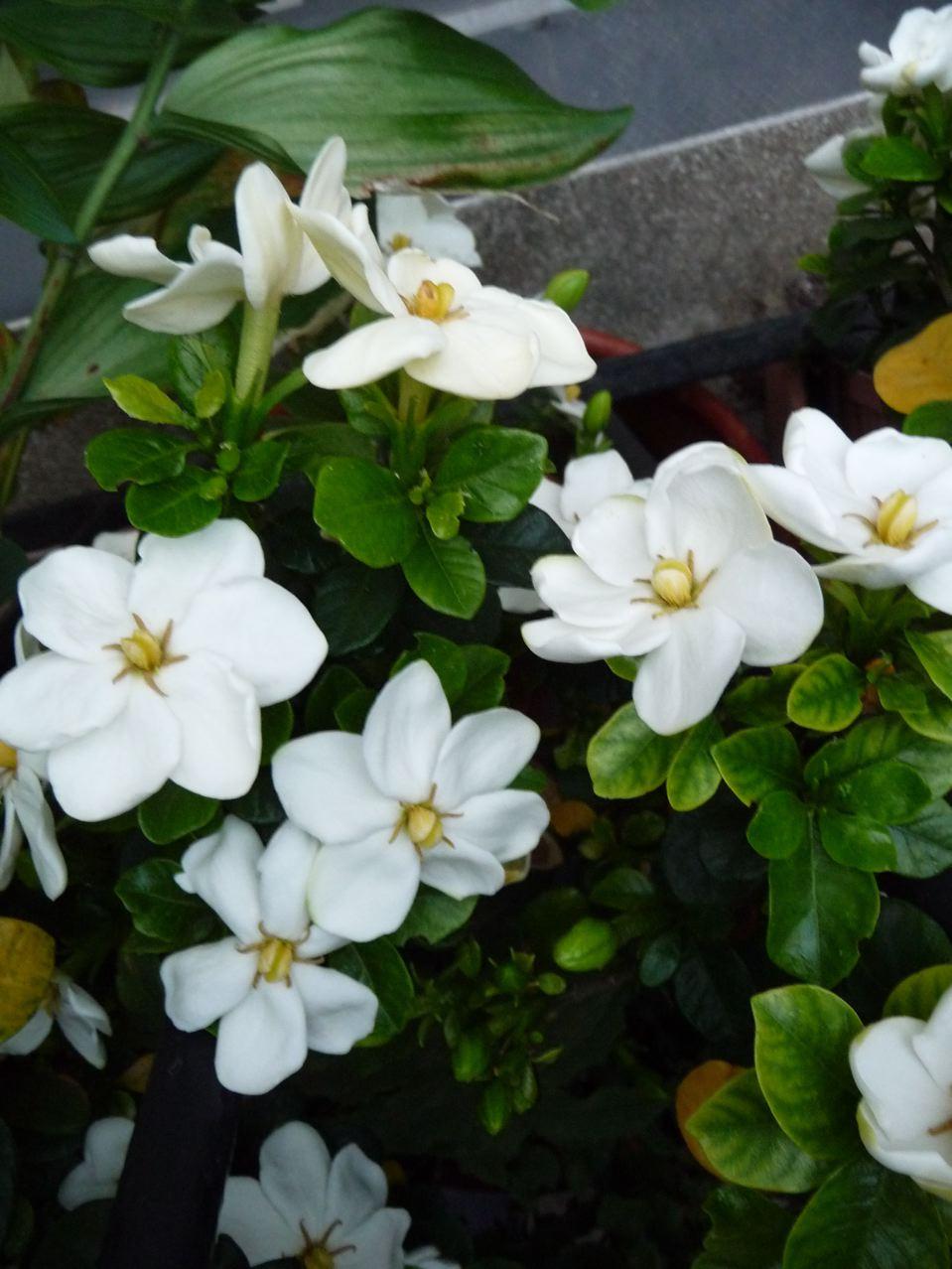Arbuste à fleurs parfumées