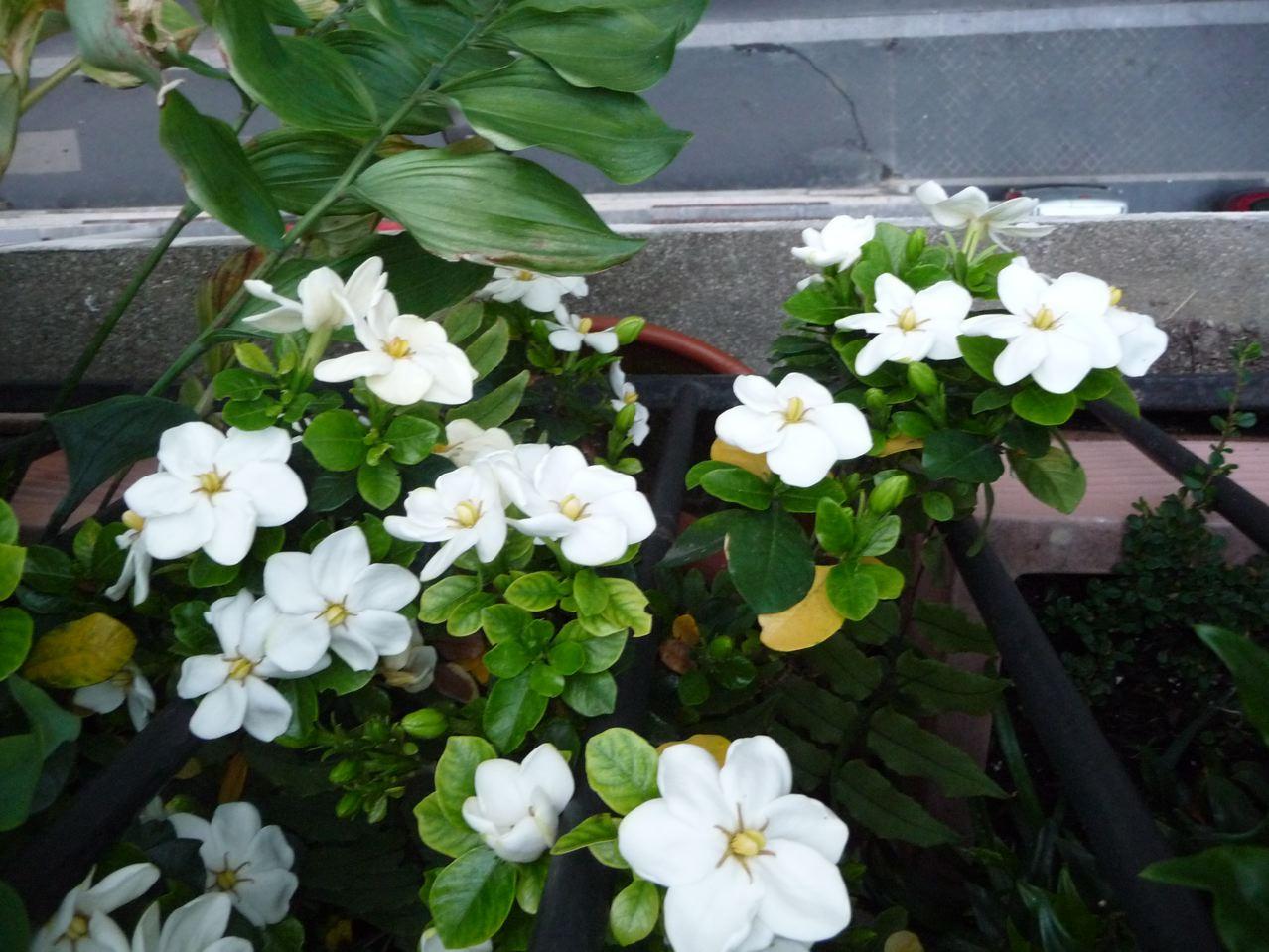 Arbustes à fleurs parfumées