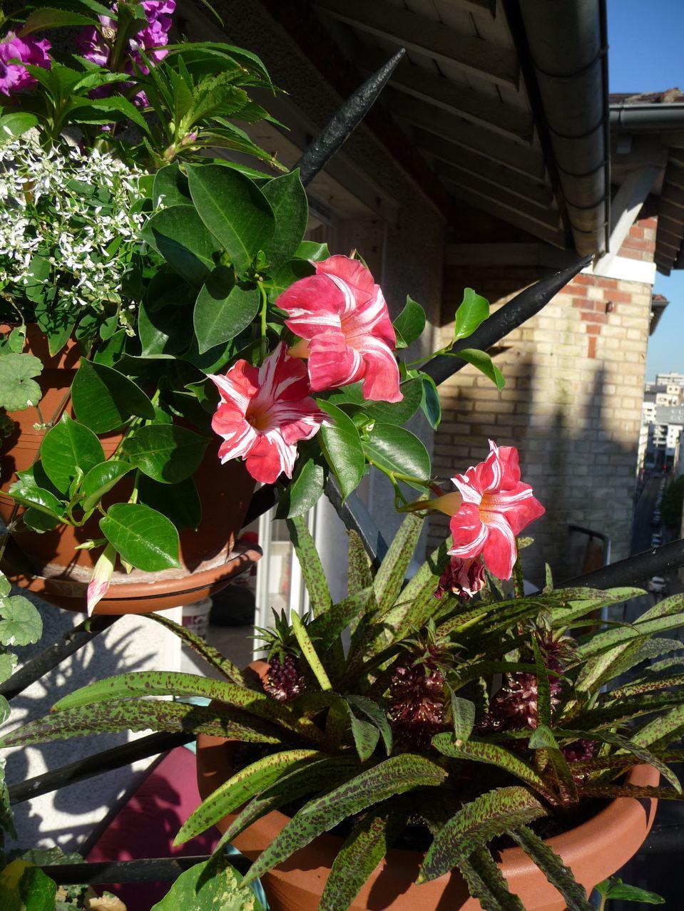 Plante exotique grimpante ou retombante