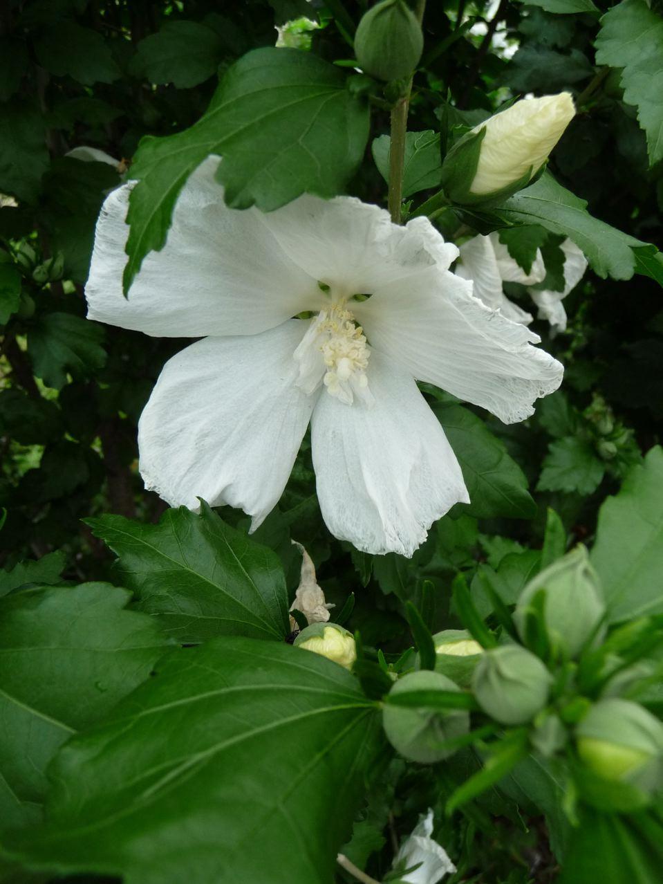 Arbuste à fleurs d'été