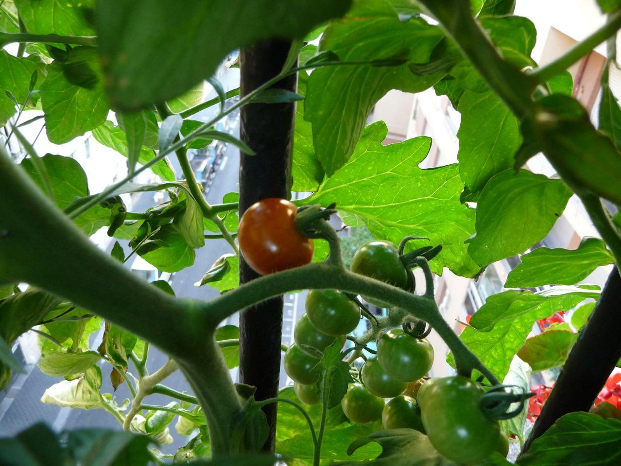 Ma culture de tomate cerise en pot sur mon balcon