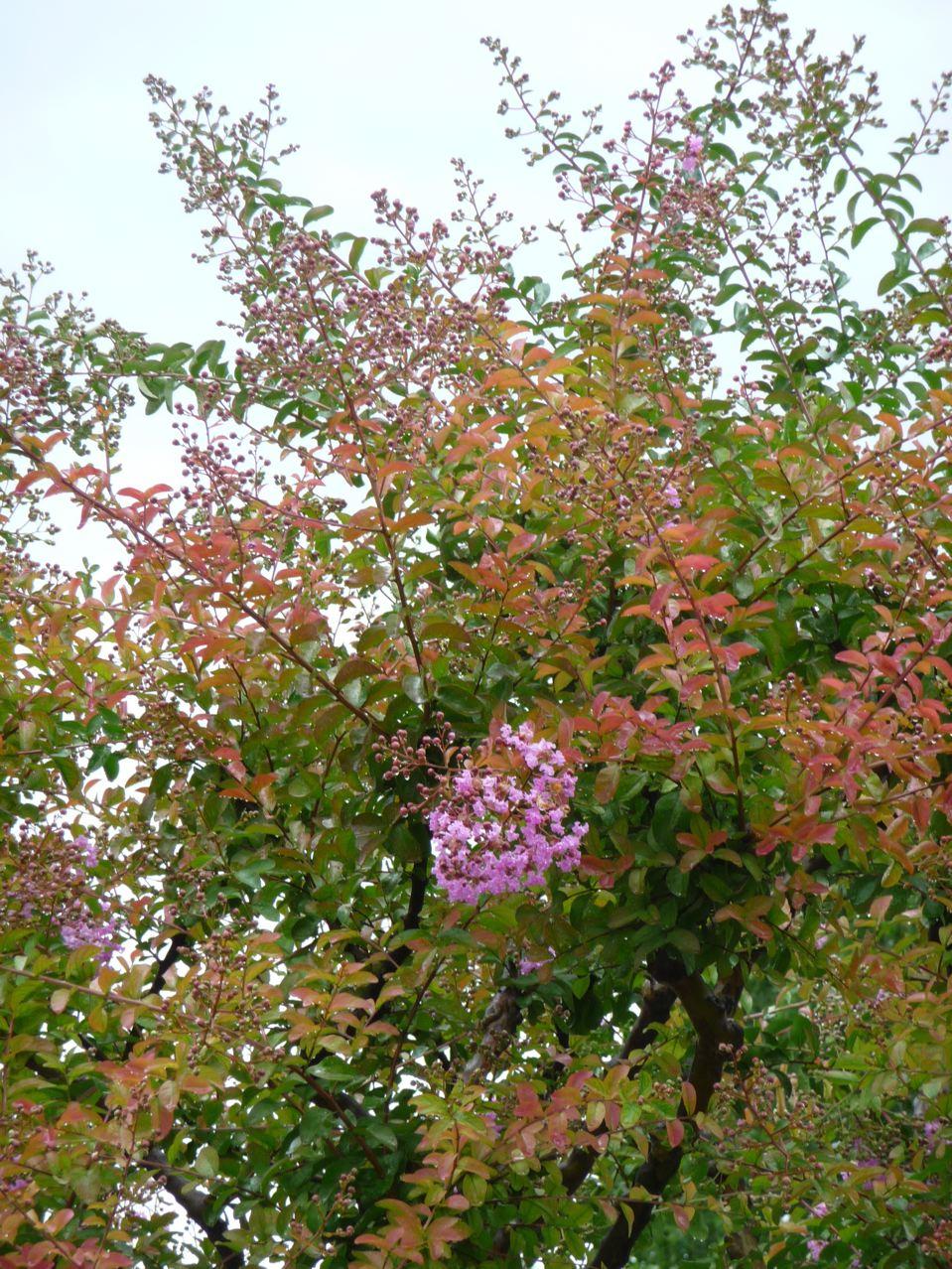 Arbre à floraison et feuillage décoratifs