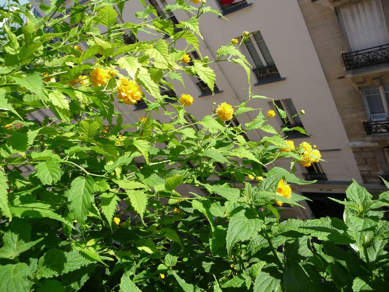 Arbuste à fleurs, floraison remontante