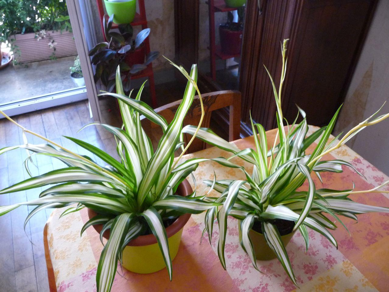 Plante d'intérieur à feuillage panaché